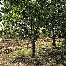 安徽销售杏树产地图片