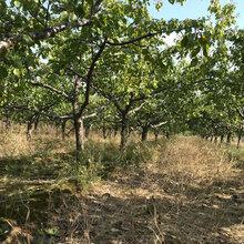 山西3公分杏树供应,凯特杏树图片