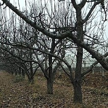 天津12公分杏树批发,金太阳杏图片