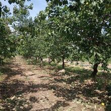 呈盛苗圃凯特杏树,贵州专业杏树价格图片