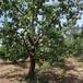 呈盛苗圃金太阳杏,河北12公分杏树价格