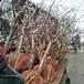 呈盛苗圃凱特杏樹,北京優質杏樹品種