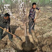 贵州3公分杏树产地,金太阳杏图片