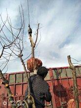 呈盛苗圃金太陽杏,陜西優質杏樹品種圖片