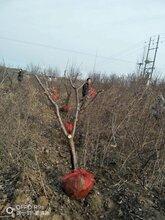 陕西种植杏树基地,凯特杏树图片