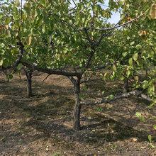 呈盛苗圃金太阳杏,甘肃优质杏树基地图片