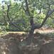 湖南專業杏樹規格,凱特杏樹