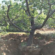 呈盛苗圃金太阳杏,山东8公分杏树品质好图片