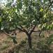 呈盛苗圃凱特杏樹,湖南占地杏樹價格