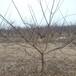 呈盛苗圃金太陽杏,北京8公分杏樹規格