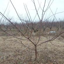 呈盛苗圃凯特杏树,陕西8公分杏树基地图片