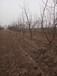 呈盛苗圃凱特杏樹,天津5公分杏樹品質好