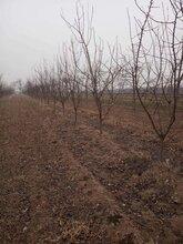 呈盛苗圃凯特杏树,天津5公分杏树品质好图片