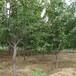 貴州3公分櫻桃樹價格
