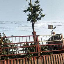 北京销售樱桃树价格图片