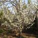 河北美早櫻桃樹品種