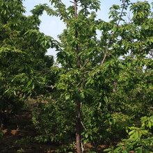 山西销售樱桃树价格图片