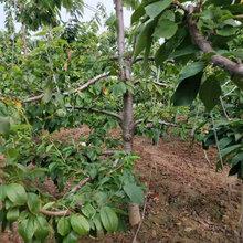 河南专业樱桃树价格图片