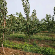 天津种植樱桃树批发图片