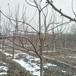 湖北專業櫻桃樹基地