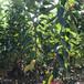 江西12公分櫻桃樹品質好
