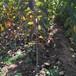 湖北優質櫻桃樹供應
