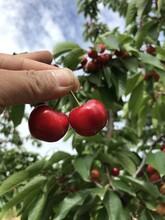 威海櫻桃樹