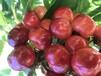 聊城銷售櫻桃樹