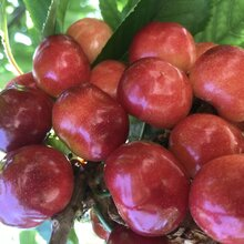 河南销售樱桃树品种图片