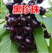 浙江專業櫻桃樹品質好