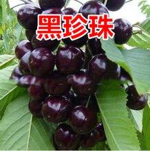 辽宁3公分樱桃树怎么样图片