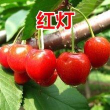 河北專業櫻桃樹價格圖片