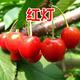 銷售櫻桃樹價格圖