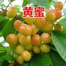 辽宁销售樱桃树品种图片