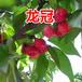 四川5公分櫻桃樹規格