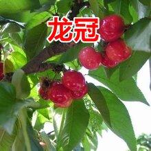 贵州销售樱桃树价格图片