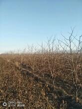 陕西5公分枣树价格图片