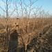 湖南優質棗樹產地