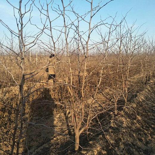 蘭州棗樹采購