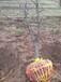 河南種植棗樹產地