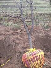 湖南销售枣树供应图片