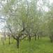 安徽優質棗樹基地
