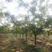 湖北12公分棗樹供應