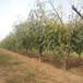 甘肃销售枣树品种