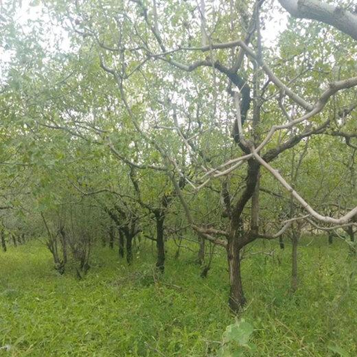 四川棗樹品質