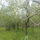 棗樹采購圖