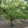 10公分杏树价格12公分杏树产地价格15公分杏树基地