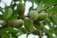 果仁香脆可口美国大扁桃(开心果)种苗