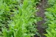 黑麦草种子,鹅菜苦买菜肥猪菜种子这些品种质量好吗