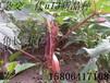 杂交一代红秋葵种子济南保健蔬菜种子代理批发